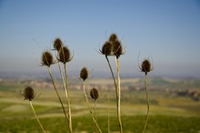 Soft Focus Of Dried Thistles W...