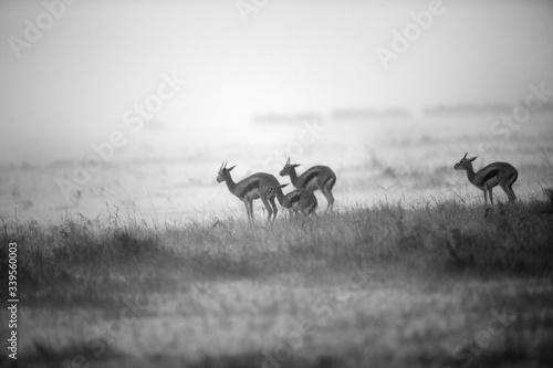 Fotografiet Thomson's Gazelles in rain, Masai Mara