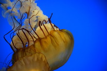 Golden Jellyfish Close Up
