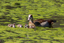 Egyptian Goose With Goslings, Swimming In A Pond.
