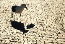 Pigeon On Cobblestone Street