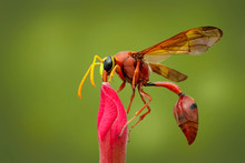 Image Of Potter Wasp (Delta Sp...