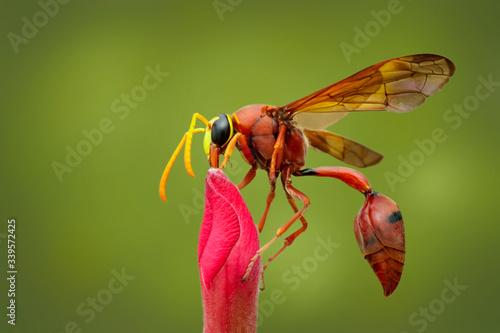 Vászonkép Image of potter wasp (Delta sp, Eumeninae) on flower