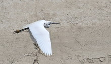 Little Egret In Flight, Egrett...