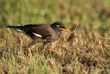 Common Myna With A Dry Grass