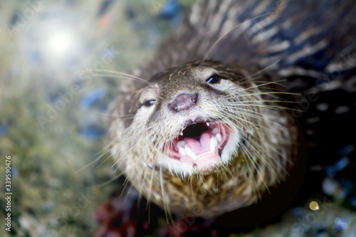 Fotografija close up portrait of an Asian otter, wildlife invaded by humans