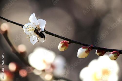 Fototapeta Close-up Of Bee Pollinating On Plum Blossom