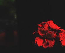 Close-up Of Red Flowers At Night