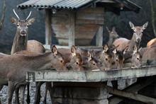 Deer And Roe Deer Feeding On S...