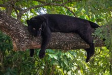 Black Panther On A Tree Branch