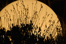 Silhouette Of Reed Grass At Sunrise
