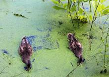 Ducks Swim In An Overgrown Pond.