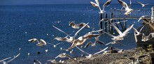 Seagulls Migrating Over Sea