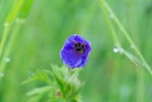 Bee Sleeping Hidden In The Pur...
