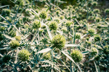 Russian Thistle Flower At The ...