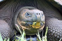 An Ancient Galapagos Tortoise