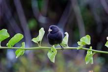 Cute Little Black Darwin Finch Sitting On A Branch