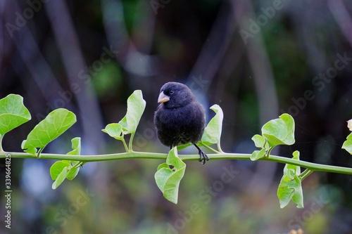 Fototapeta Cute little black Darwin finch sitting on a branch