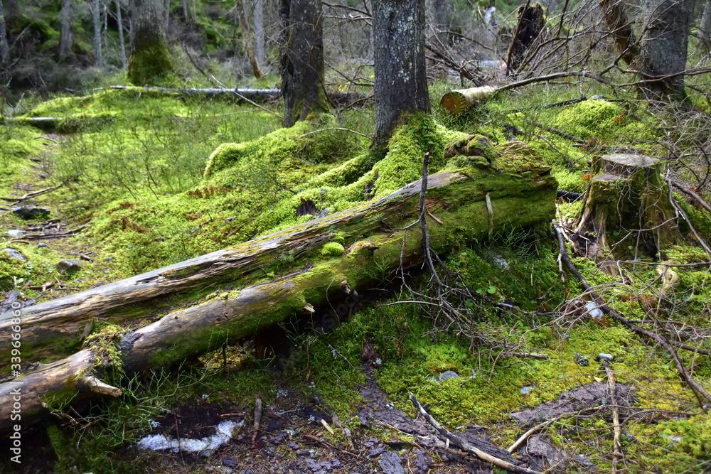 Fototapeta Bialowieski Park Narodowy, Puszcza Bialowieska, Park wpisany na liste Swiatowego Dziedzictwa UNESCO, swiatowy rezerwat biosfery, rezerwat w Polsce, najstarszy park narodowy