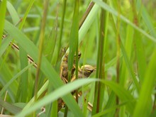 Grasshoppers Mating On Plants