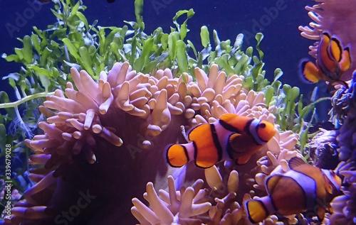 Obraz na plátně Close-up Of Clown Fish Swimming At Aquarium