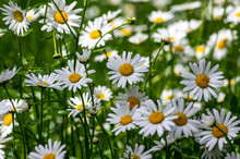 Leucanthemum Vulgare Meadows Wild Oxeye Daisy Flowers With White Petals And Yellow Center In Bloom, Flowering Beautiful Plants