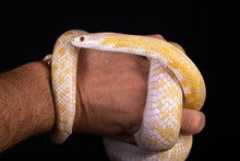 Beautiful Hybrid Snake, Crossing Of Two Species, Corn Snake And Rat Snake