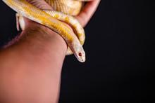 Beautiful Hybrid Snake, Crossi...