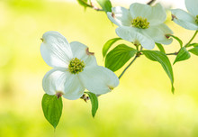 White Dogwood Blossom On Yello...