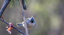 Tufted Titmouse, Baeolophus Bicolor, A Small Gray Songbird, Looking Straight Ahead Ready To Fly
