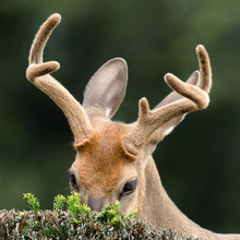 Deer With Antlers Peeking Out From Behind Bushes With Expressive Eyes.