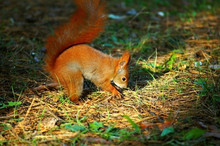 Forest Redhead Squirrel On The...