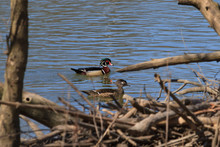 Wood Duck Pair Swimming At A W...