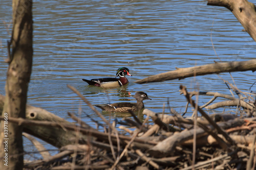 Vászonkép Wood Duck pair swimming at a wetland