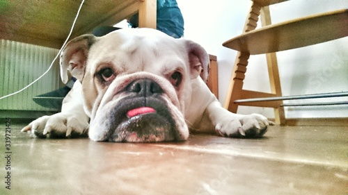 Valokuva Close-up Of English Bulldog Resting On Floor