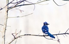 Low Angle View Of Blue Jay Perching On Bare Tree Against Clear Sky