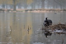 Canada Goose Resting In Lake A...