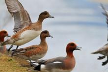 Ducks On Field By Lake