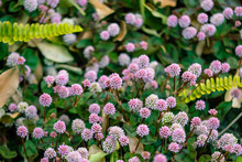 ピンクのポンポンのような雑草 ヒメツルソバ ポリゴナムの花