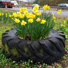Close-up Of Daffodils In Tire On Roadside