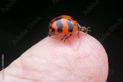 tiny asian ladybeetle Canvas Print