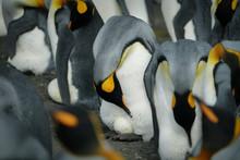 Penguin Checking On Egg