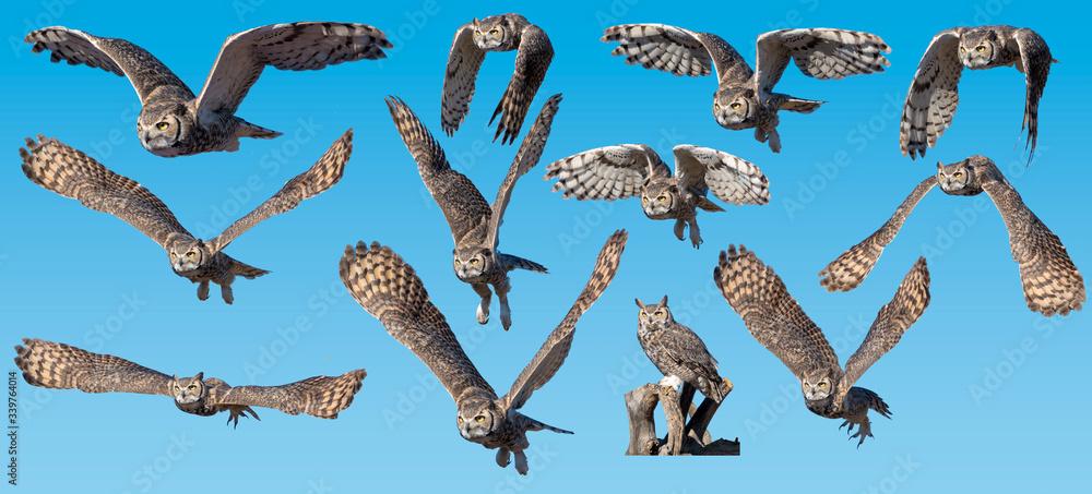 Fototapeta Great Horned Owl collection flying against blue background