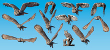 Great Horned Owl Collection Fl...