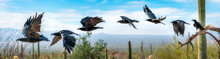 Chihuahuan Raven Flying Sequen...