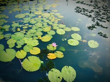 High Angle View Of Lily Pads Floating On Pond