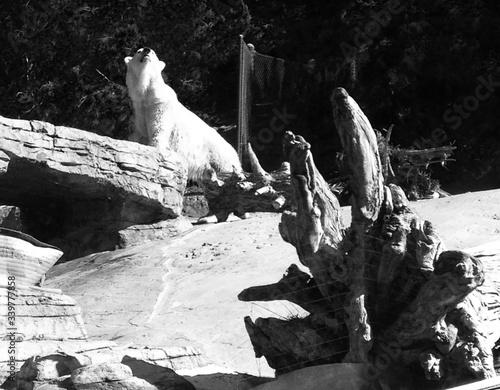 Fotografiet Polar Bear In Zoo On Sunny Day