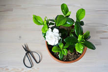 Blooming White Gardenia And Bl...