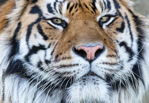 Canvastavla Close-up Of Tiger