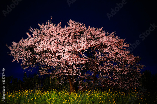 Canvas-taulu Cherry Blossoms On Field At Night